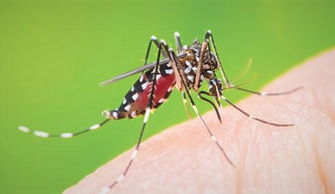 moustiques tigres